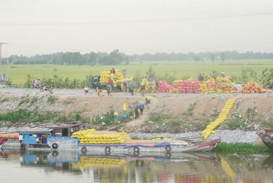 Các doanh nghiệp đang đẩy mạnh thu mua tạm trữ 1 triệu tấn lúa gạo theo chỉ đạo của Chính phủ