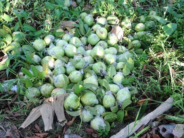 500 đồng một kg ổi, người miền Tây bỏ chín đầy vườn ảnh 2