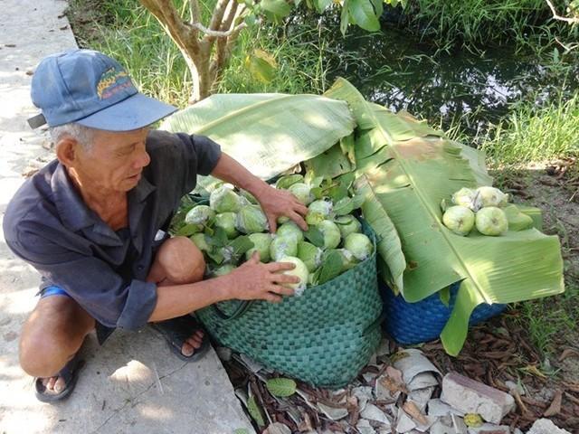 500 đồng một kg ổi, người miền Tây bỏ chín đầy vườn ảnh 4
