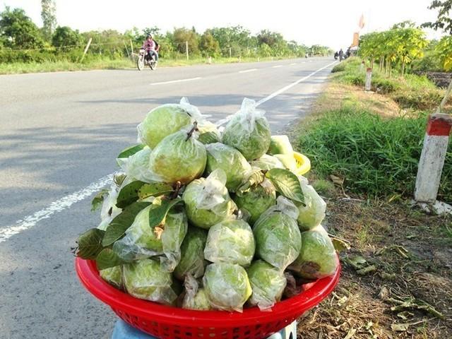 500 đồng một kg ổi, người miền Tây bỏ chín đầy vườn ảnh 6