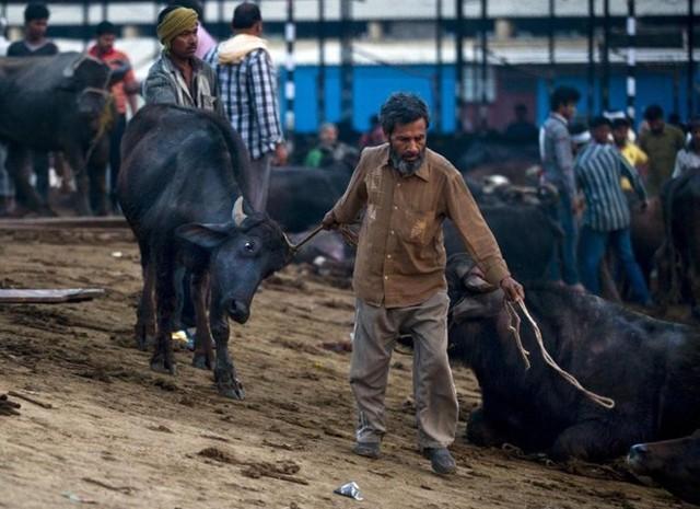 Thịt trâu là thực phẩm thiết yếu đối với hàng triệu người nghèo Ấn Độ bởi nó rẻ hơn phần lớn những loại thịt khác.