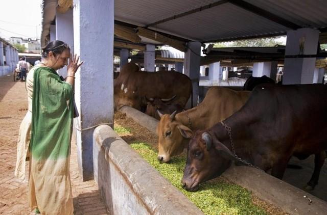 Minu Aggarwal cầu khấn thần linh khi cho những con bò ăn đậu lăng ngâm nước và lá xanh tại một trung tâm bảo vệ bò ở thành phố New Delhi hôm 2/4.