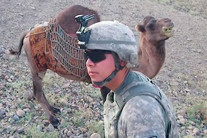 Lạc đà Afghanistan đá lính Mỹ té nhào ảnh 2