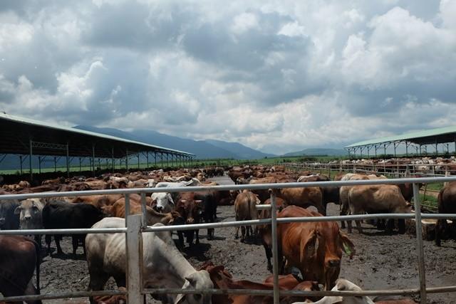 """Khám phá trang trại nuôi bò - """"nồi cơm"""" chính của HAGL ảnh 10"""