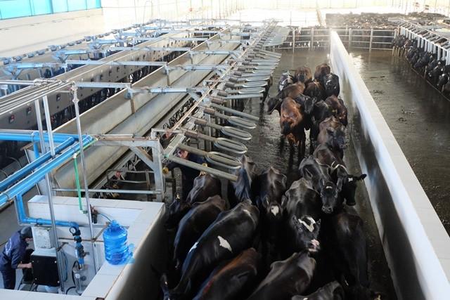 """Khám phá trang trại nuôi bò - """"nồi cơm"""" chính của HAGL ảnh 13"""