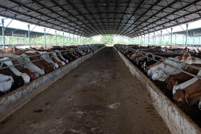 """Khám phá trang trại nuôi bò - """"nồi cơm"""" chính của HAGL ảnh 8"""
