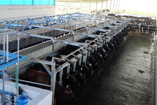 """Khám phá trang trại nuôi bò - """"nồi cơm"""" chính của HAGL ảnh 12"""
