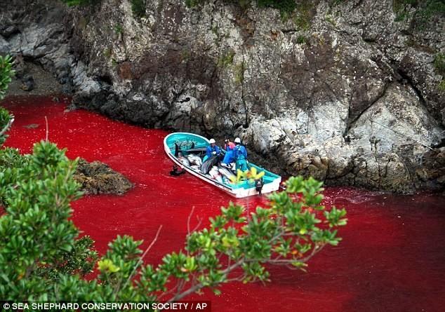 Máu cá voi bị săn bắt làm đỏ cả mặt nước. (Nguồn: AP)
