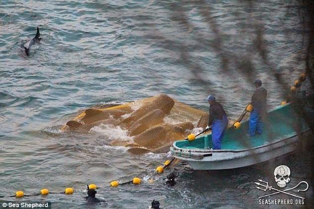 Những hình ảnh đầy ám ảnh về mùa săn cá voi tại Nhật Bản ảnh 2