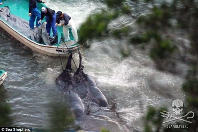 Những hình ảnh đầy ám ảnh về mùa săn cá voi tại Nhật Bản ảnh 3