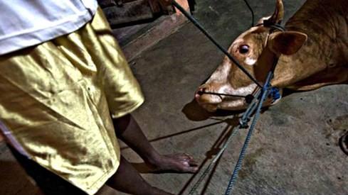 Úc điều tra lò mổ Việt Nam vì cáo buộc ngược đãi gia súc ảnh 1