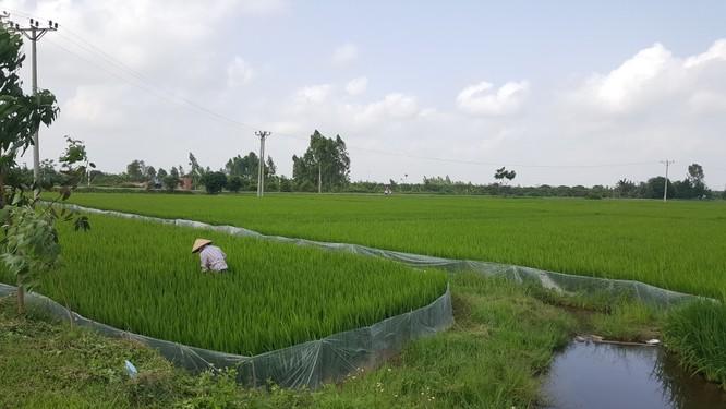 Hai thửa ruộng, một chỉ chưa đầy 1 sào, và một rộng 2 mẫu tại xã Cẩm Chế, huyện Thanh Hà, Hải Dương. Ảnh: Quốc Dũng