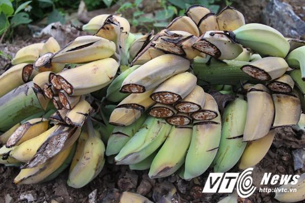 Những buồng chuối sắp cho thu hoạch bị chém tan nát. Ảnh: Minh Khang -VTC