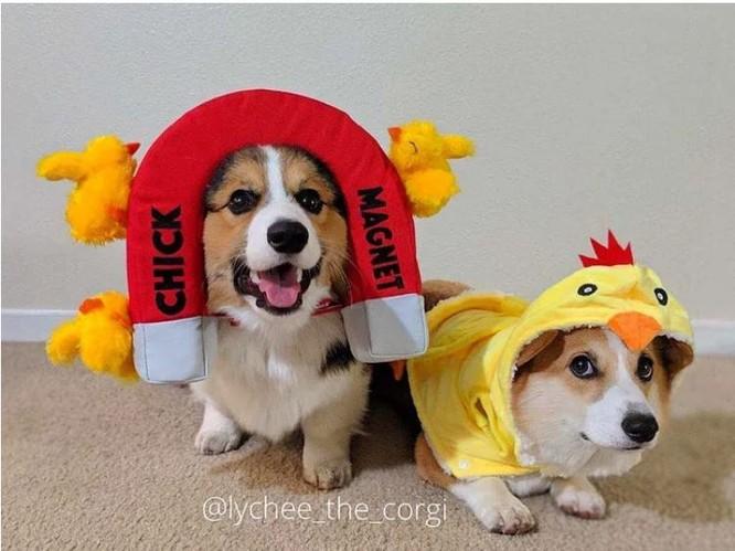 """""""Té ngửa"""" với diện mạo của những chú chó trong ngày Halloween ảnh 3"""