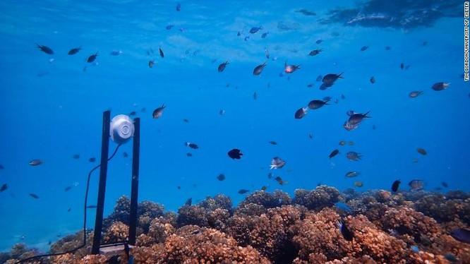 Sử dụng loa để hồi sinh các rạn san hô, ý tưởng sáng tạo của các nhà khoa học ảnh 1