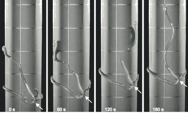 Các nhà khoa học vừa phát hiện một cách di chuyển hoàn toàn mới của loài rắn ảnh 1