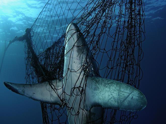 Chỉ trong 50 năm, 70% số lượng cá mập trên toàn thế giới đã biến mất ảnh 1