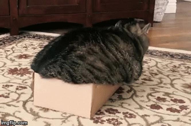 23 hình ảnh chứng minh loài mèo có thể yên vị ở bất cứ đâu ảnh 22