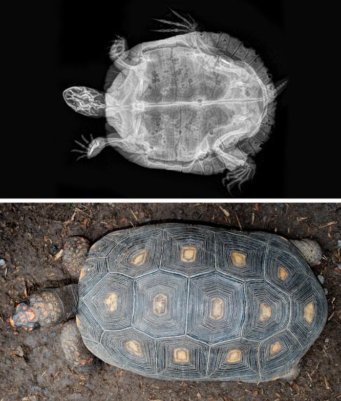 14 hình ảnh độc đáo của động vật qua máy chụp X-quang ảnh 14
