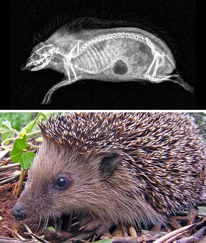 14 hình ảnh độc đáo của động vật qua máy chụp X-quang ảnh 3