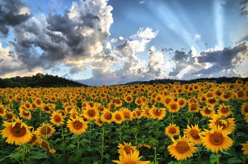 Cánh đồng hoa hướng dương, Tây Ban Nha
