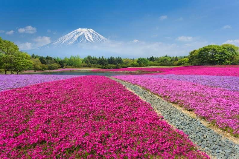 Lễ hội hoa tại Fuji Shibazakura, gần núi Phú Sĩ, Nhật Bản