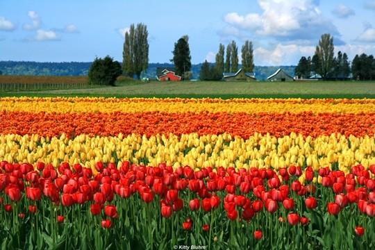 Lễ hội hoa Tulip ở thung lũng Skagit ở Washington, Hoa Kỳ