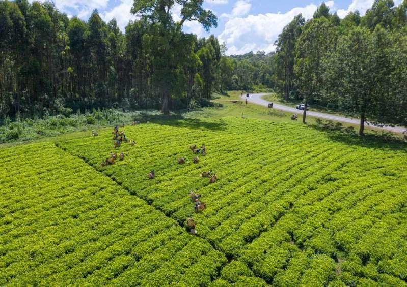 Nông trường chè Ethiopia