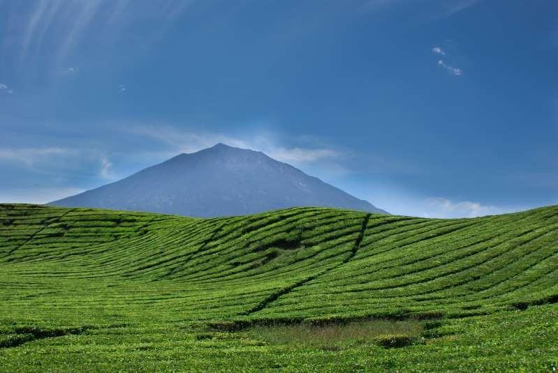 Nông trường chè Indonesia