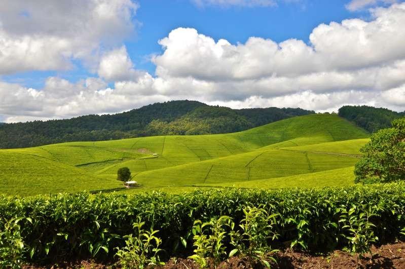 Nông trường chè Rwanda