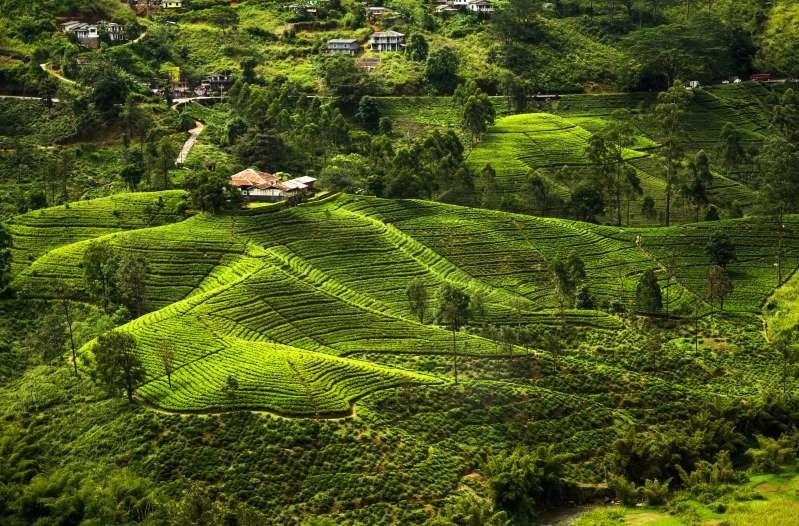 Nông trường chè Sri Lanka