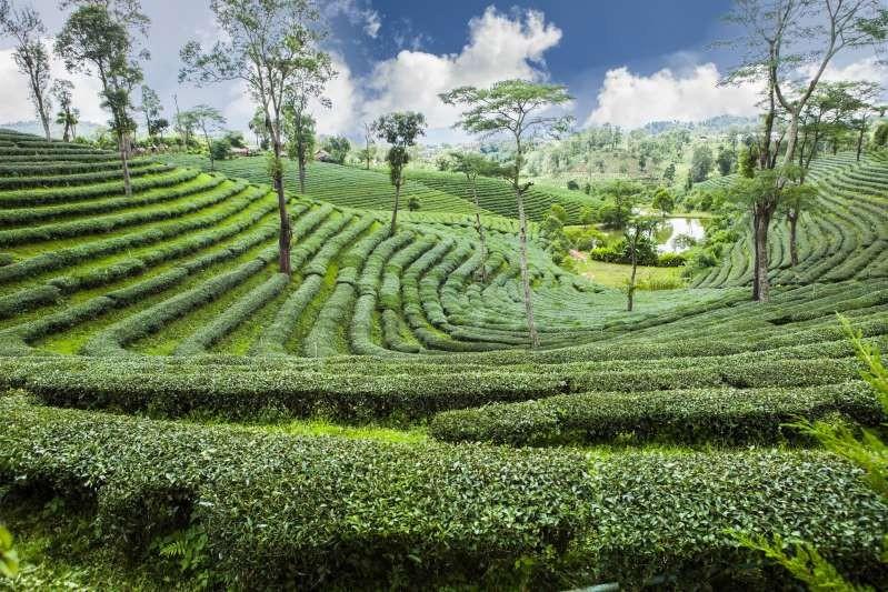 Nông trường chè Thái Lan