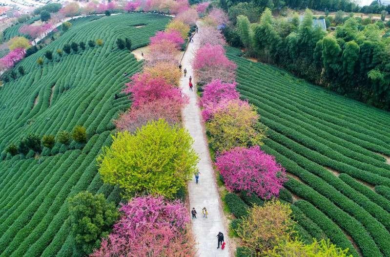 Nông trường chè Trung Quốc