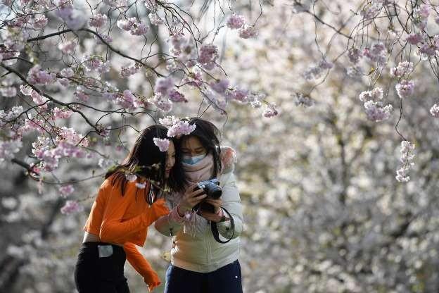 Quên COVID-19 đi, nhẹ lòng ngắm hoa anh đào nở rộ khắp thế giới ảnh 2